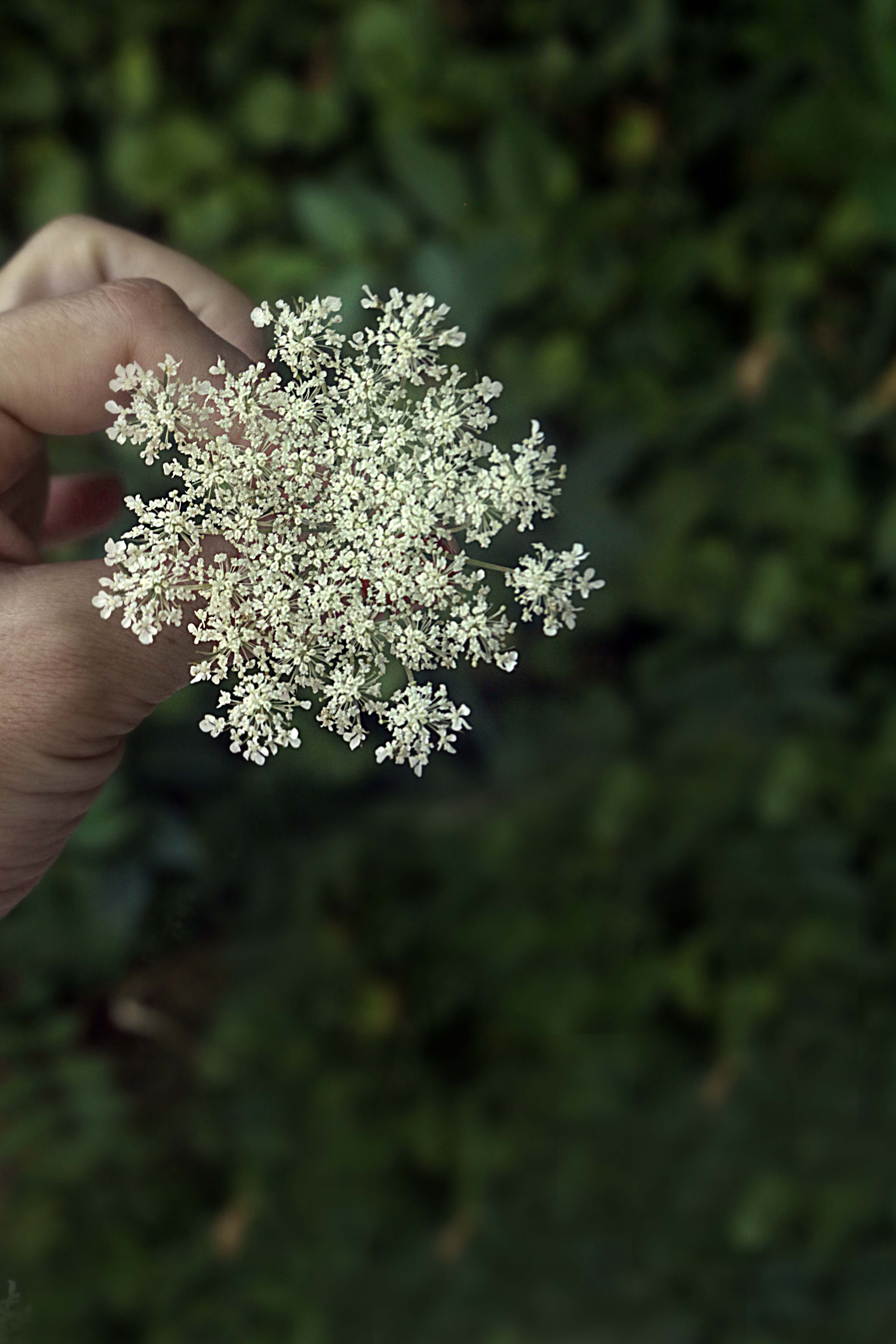 Queen Anne's lace and how to use it in witchcraft, magick and spells.