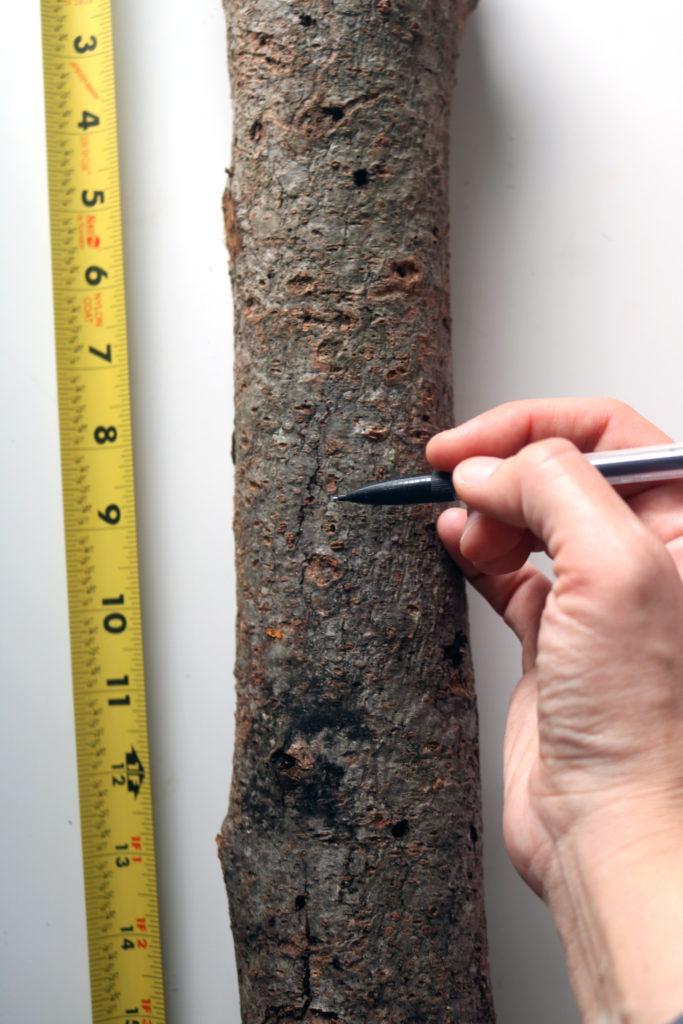 Measuring log to make Winter Solstice decoration.